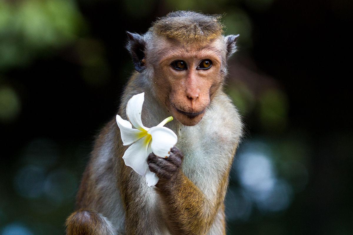 花猴子_猴子花