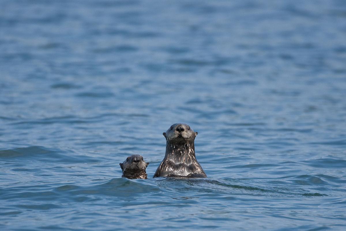 ��n;_海獭游泳在布里斯托尔湾海域夏季西南,阿拉斯加/ n