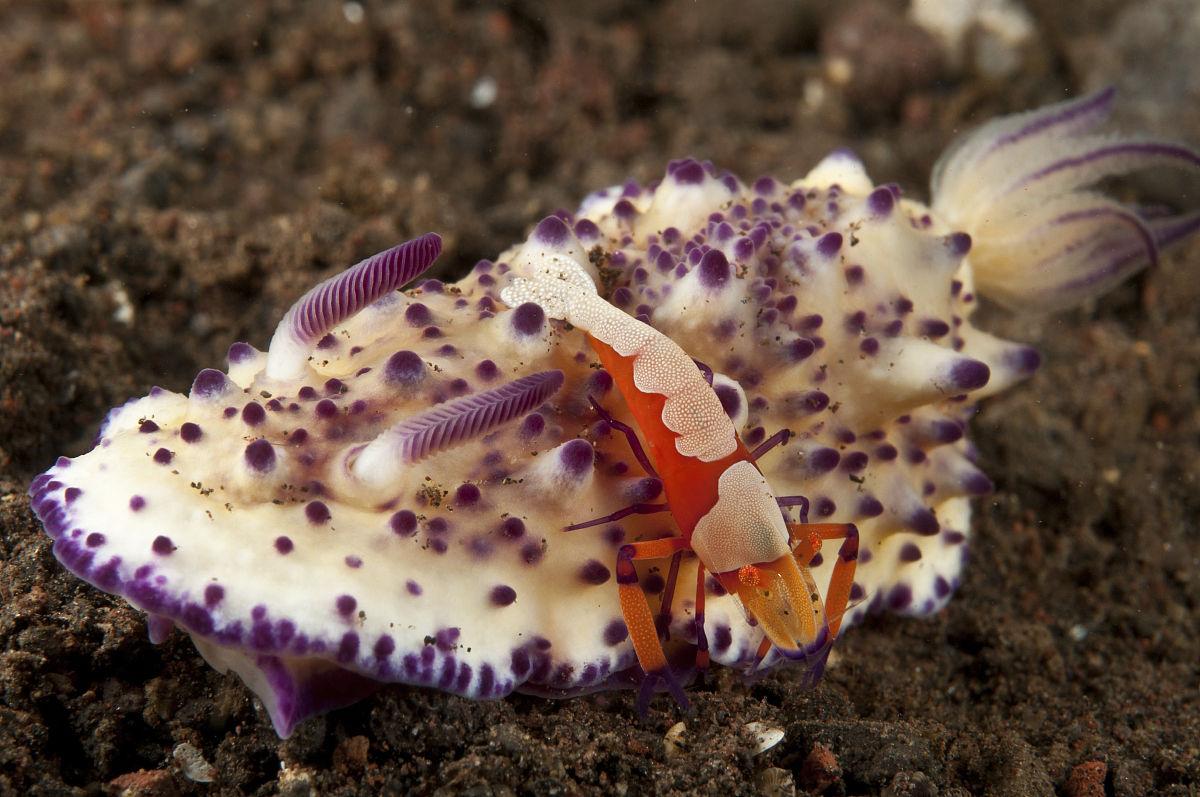 WWW_XAXTUBECU_COM_mexichromis multitubeculata海蛞蝓海兔橙色皇帝虾,巴厘,印度尼西亚.