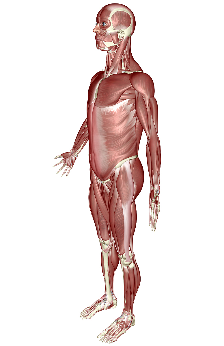 肌肉_肌肉系统