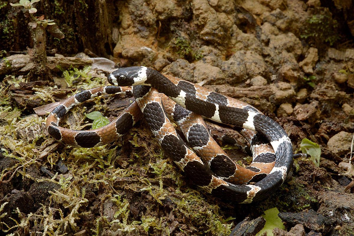 �yf�yil�..���zgd�#byi)��)�lc_华丽的snaileater(dipsas catesbyi)是一个最美丽的标志着亚马逊的蛇.