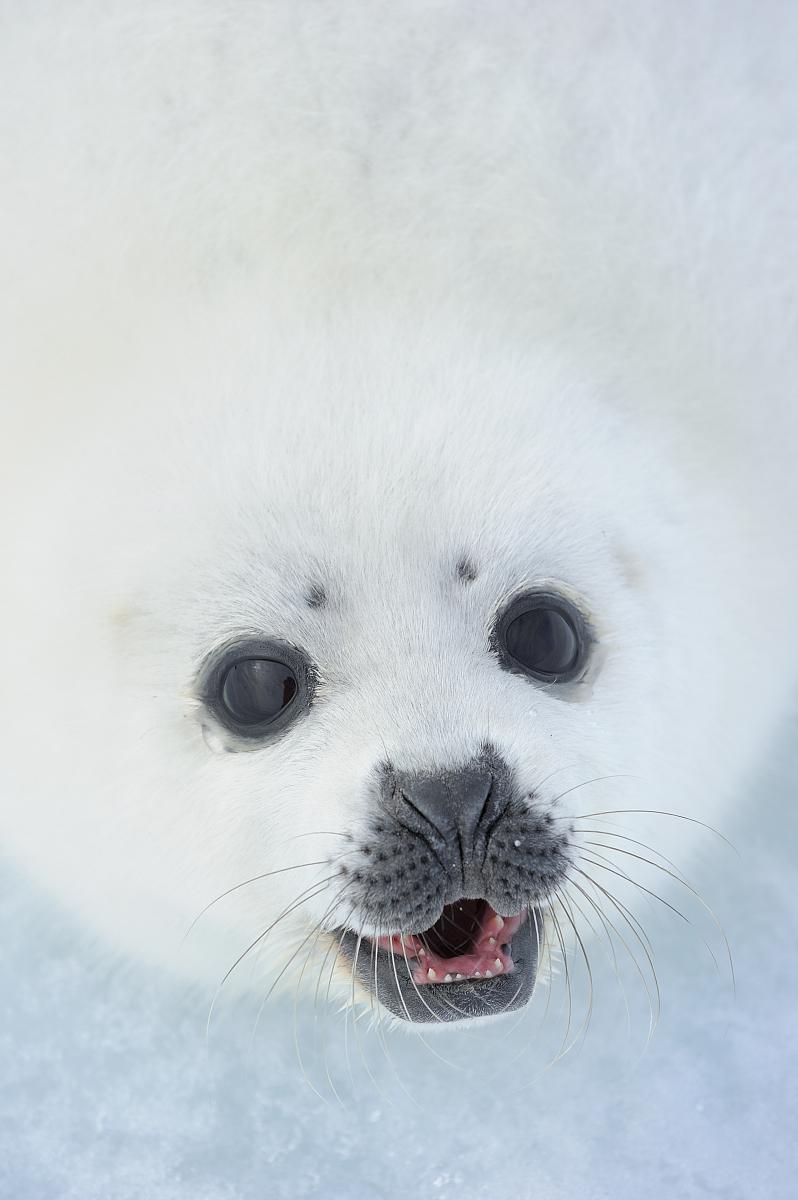 竖琴海豹(pagophilus groenlandicus)的小狗,马格达伦群岛,曲?图片
