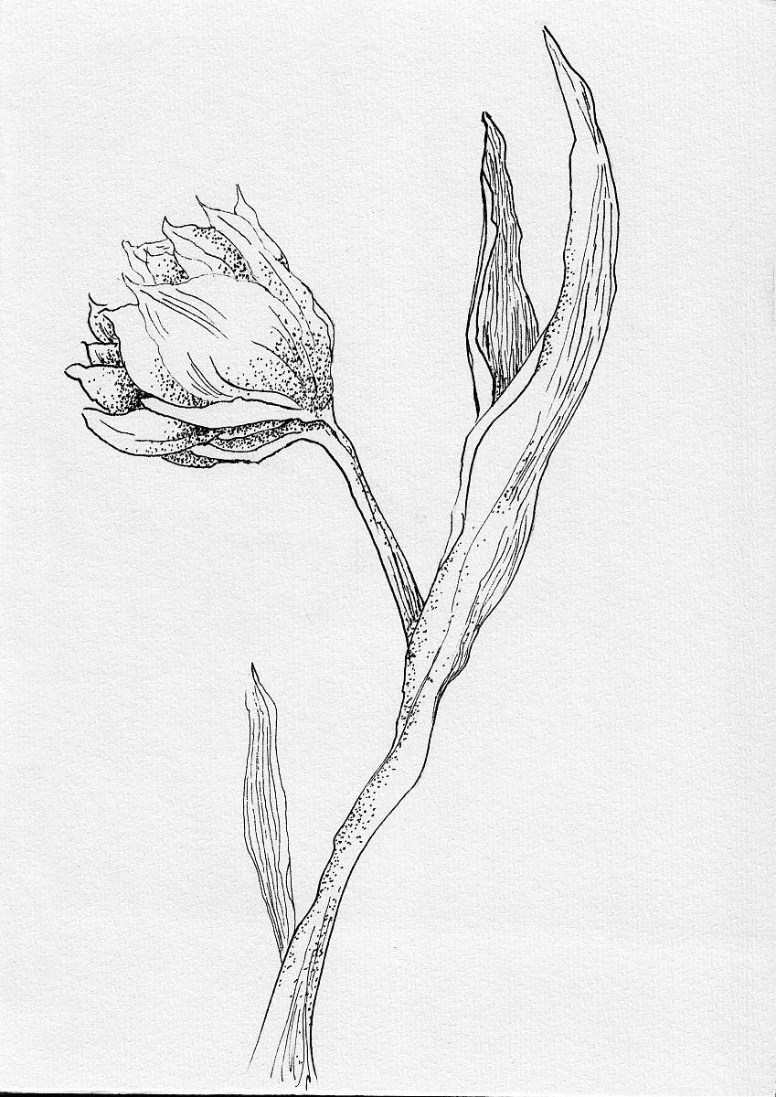 郁金香花手绘手绘素描图片