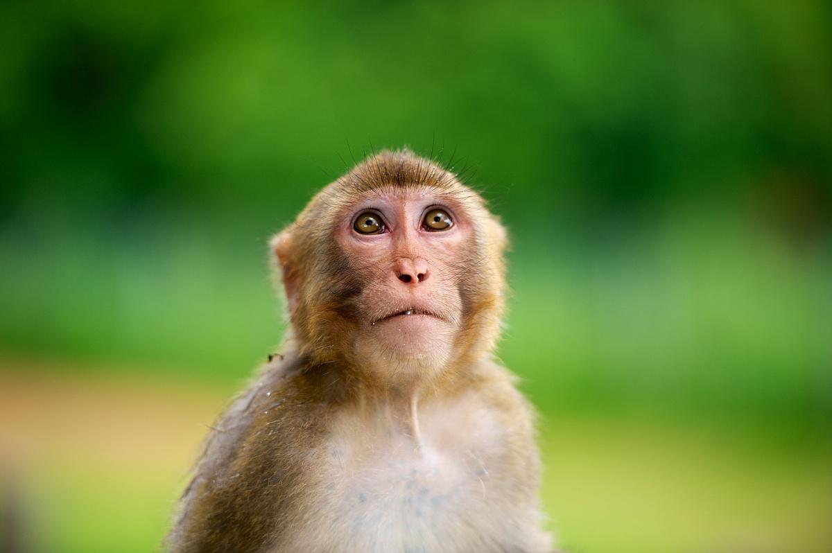 中国猴子种类_像猴子,城门水塘,香港,中国