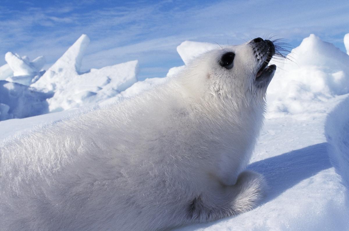 竖琴海豹小狗召唤.加拿大圣劳伦斯湾图片