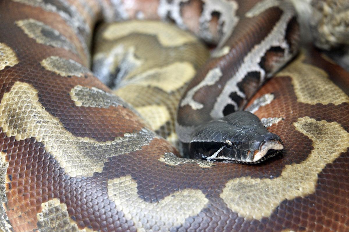 python(血蟒)