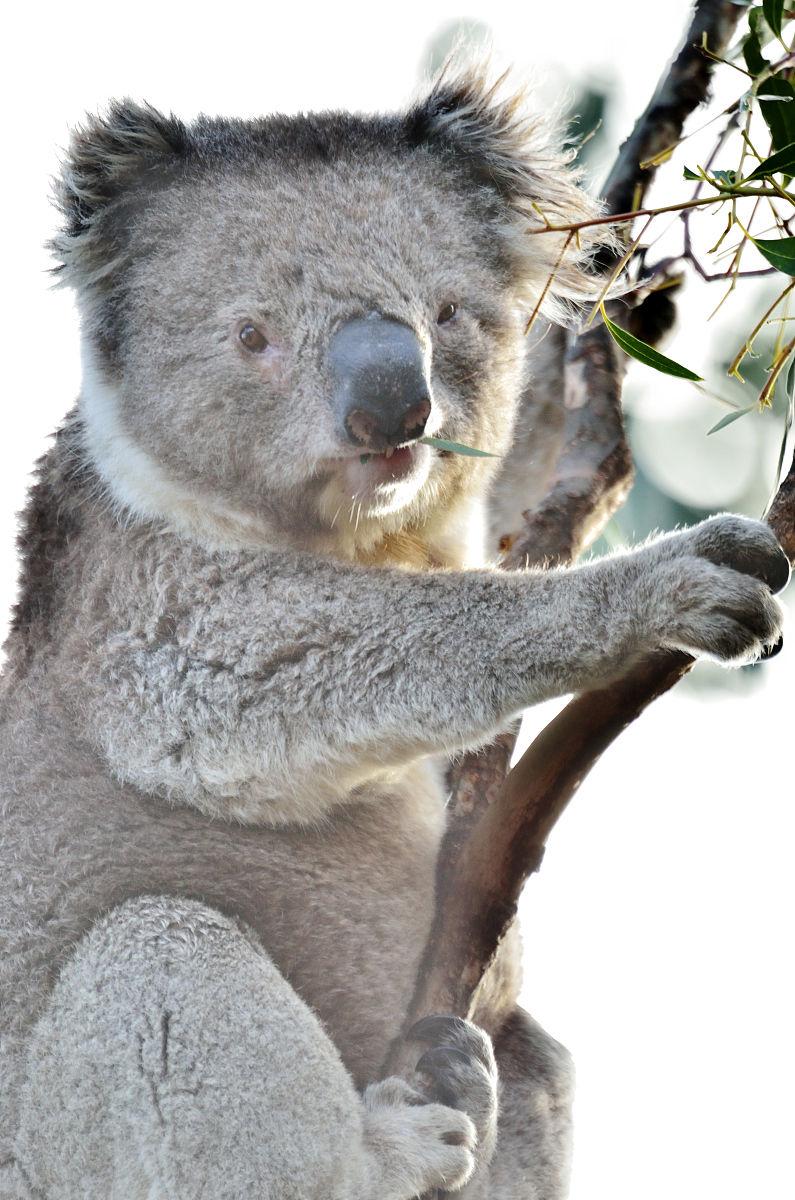 澳大利亚,全身像,户外,美术肖像,天空,注视镜头,树袋熊,摄影,栖息,与图片