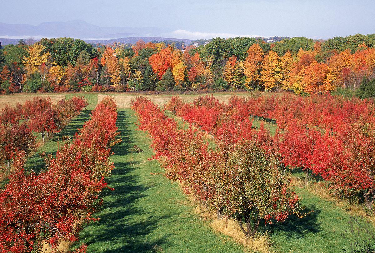 美国,多色的,水果,灌木,树,叶子,季节,秋天,地形,中大西洋美国,果园图片