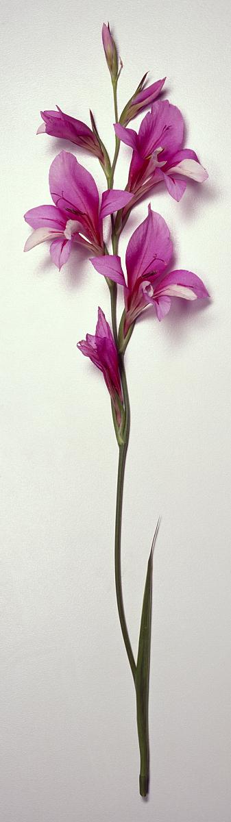 亚洲色囹il�(���_单绿色穗状的紫红色的花gladiolus illyricus干.