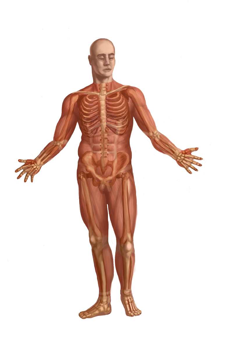 肌肉_人体的肌肉系统