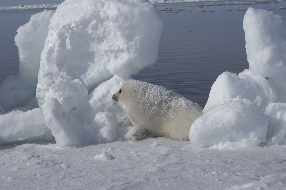 白色竖琴小海豹在冰上图片