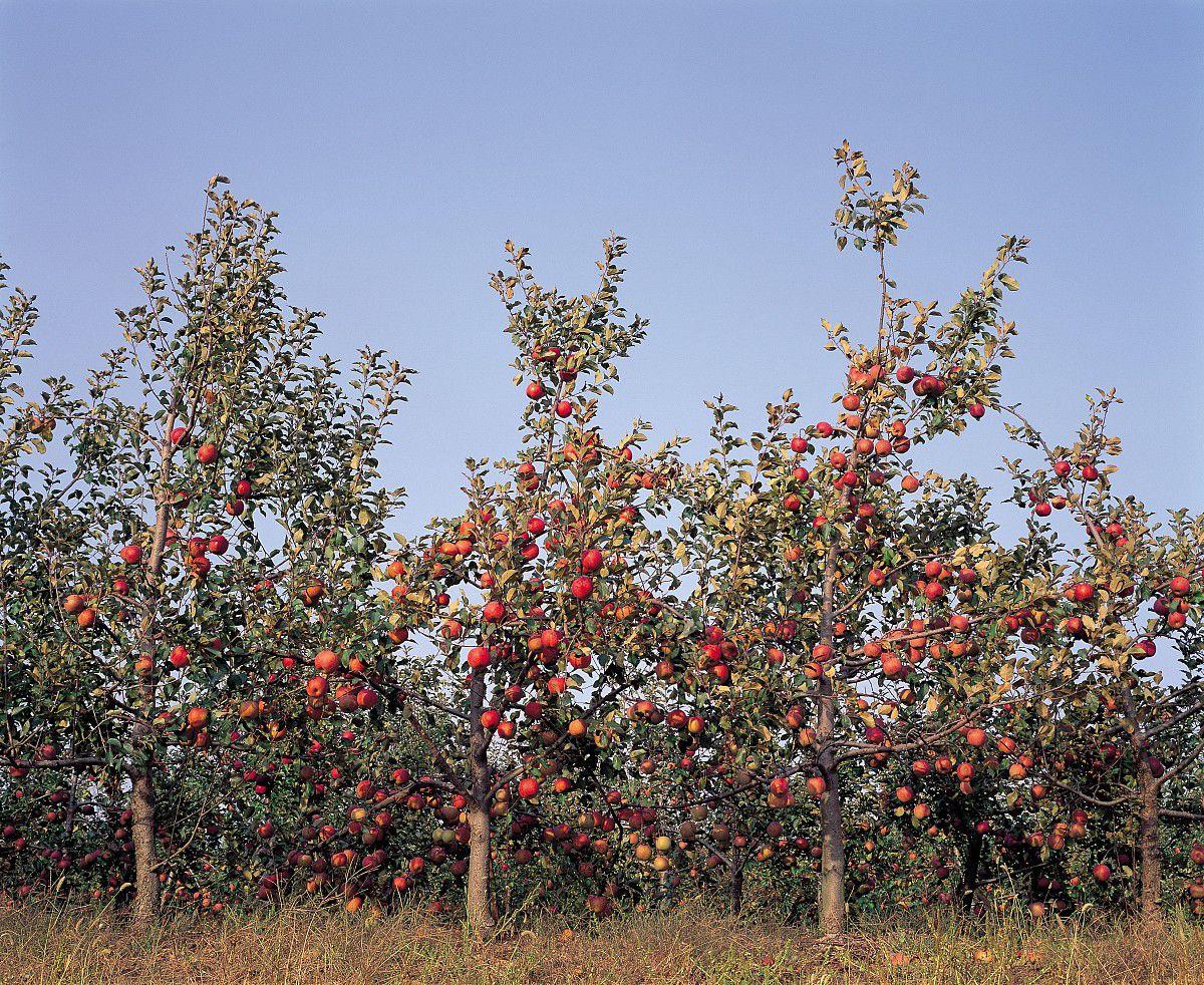 户外,白昼,天空,朝鲜半岛,果园,苹果,苹果树,秋天,水果,自然,风景图片