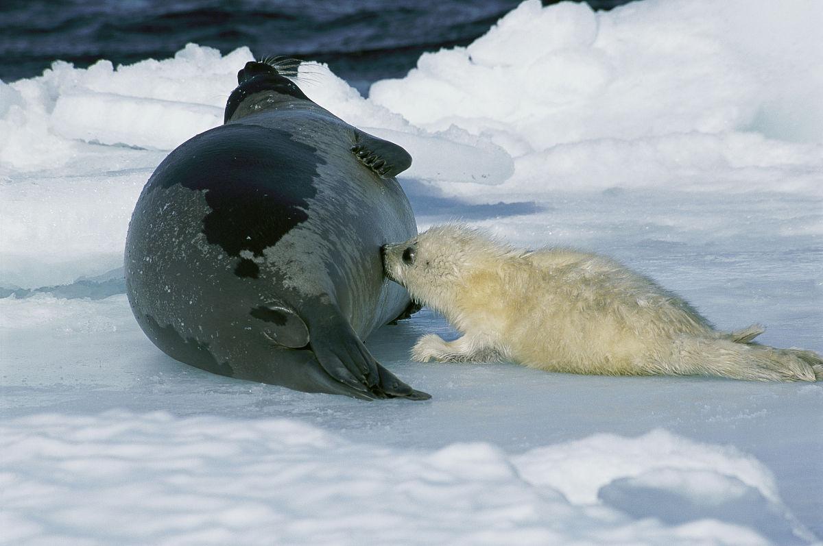 婴儿竖琴海豹护士.幼犬每5小时可获得约一磅.图片