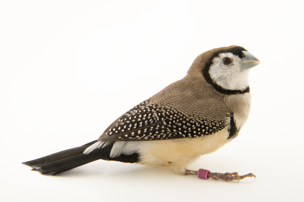 双斑草雀,taeniopygia bichenovii bichenovii,在比尔森动物园.图片