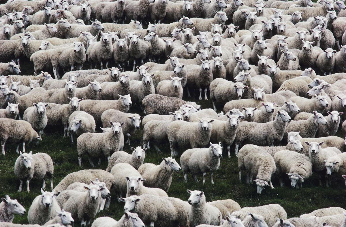 一群�yf�yl#�kjye,y�9�c_一群羊