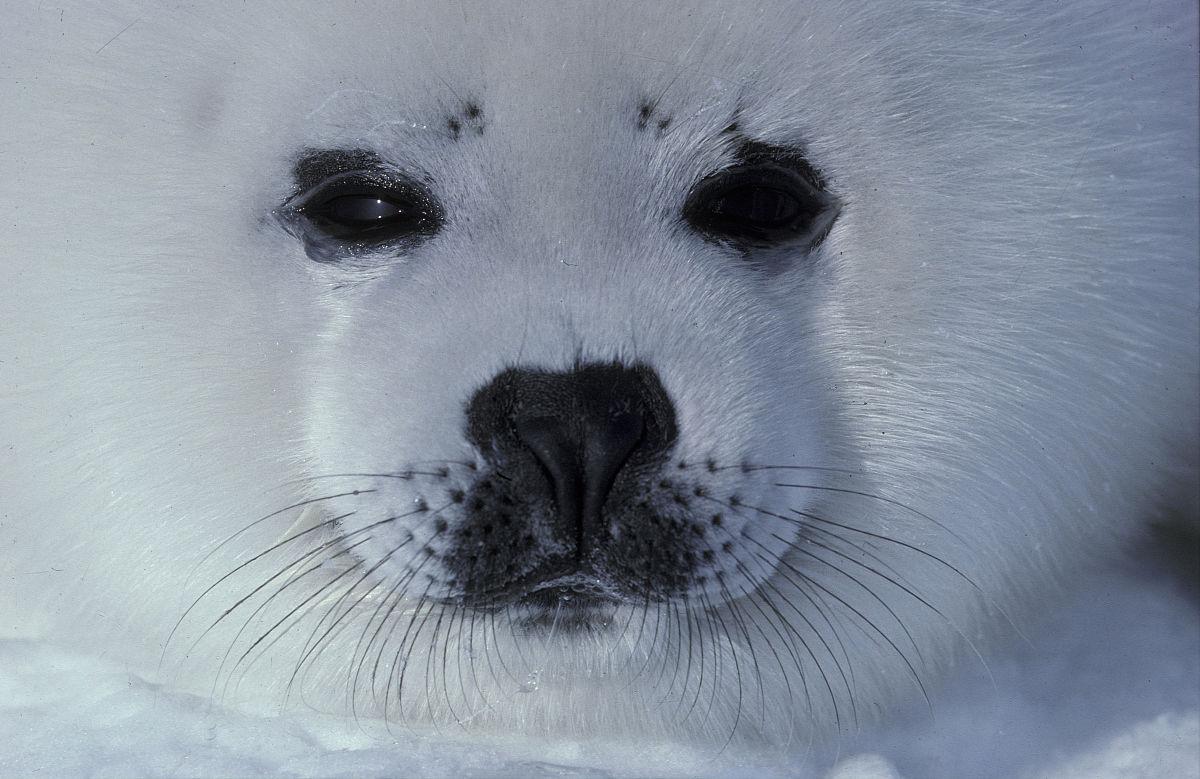竖琴海豹小狗.海豹groenlandica.特写的脸.马格达伦群岛.魁北克.图片