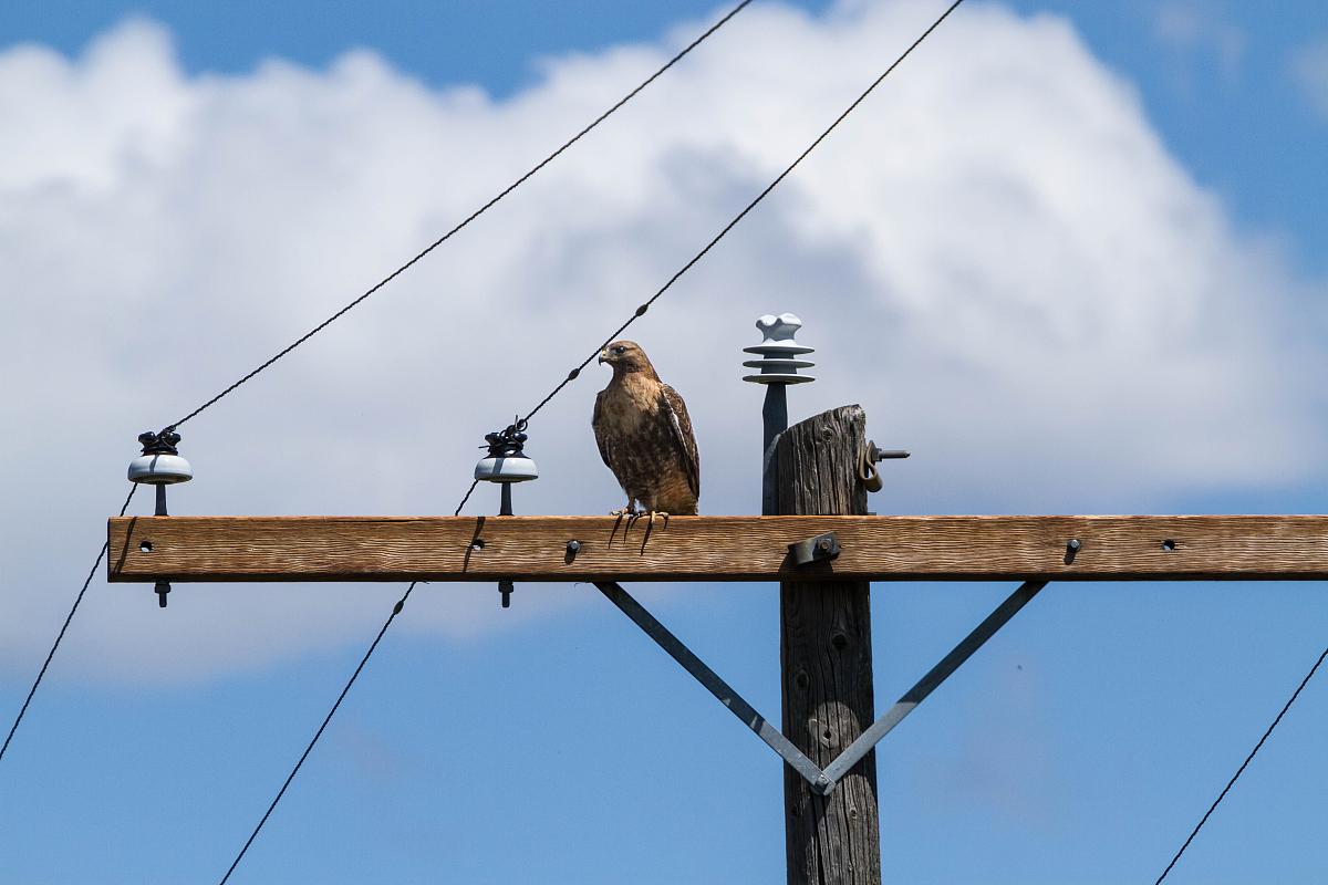红尾鹰栖息在电线杆图片