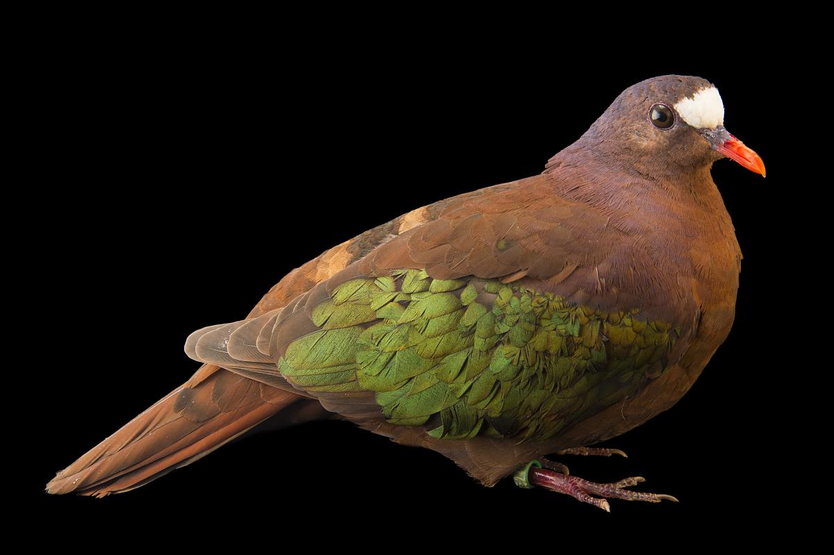 一个老城翡翠的鸽子,chalcophaps stephani,在比尔森动物园.图片