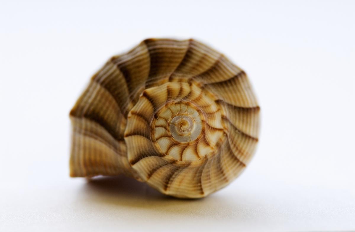 海螺贝壳,白色背景.图片