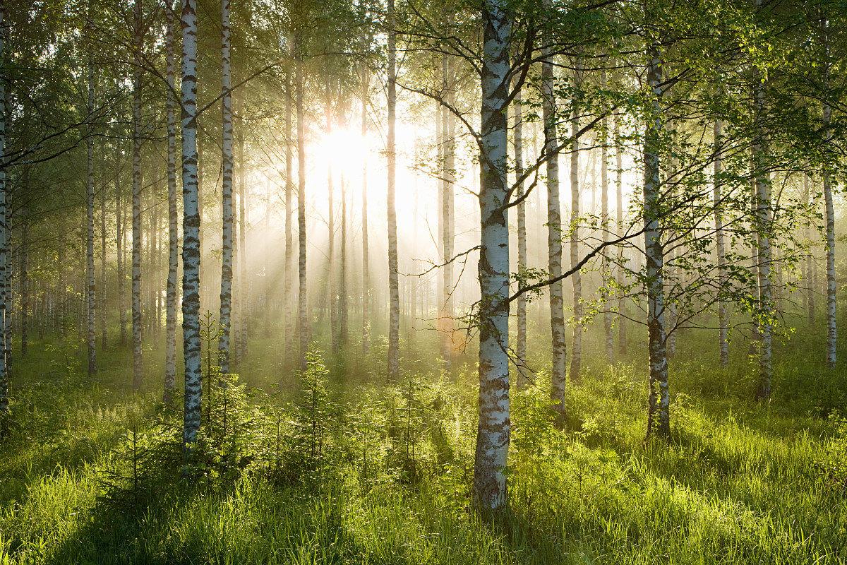 林��h���9���jf��i��i��a_白桦林中的阳光