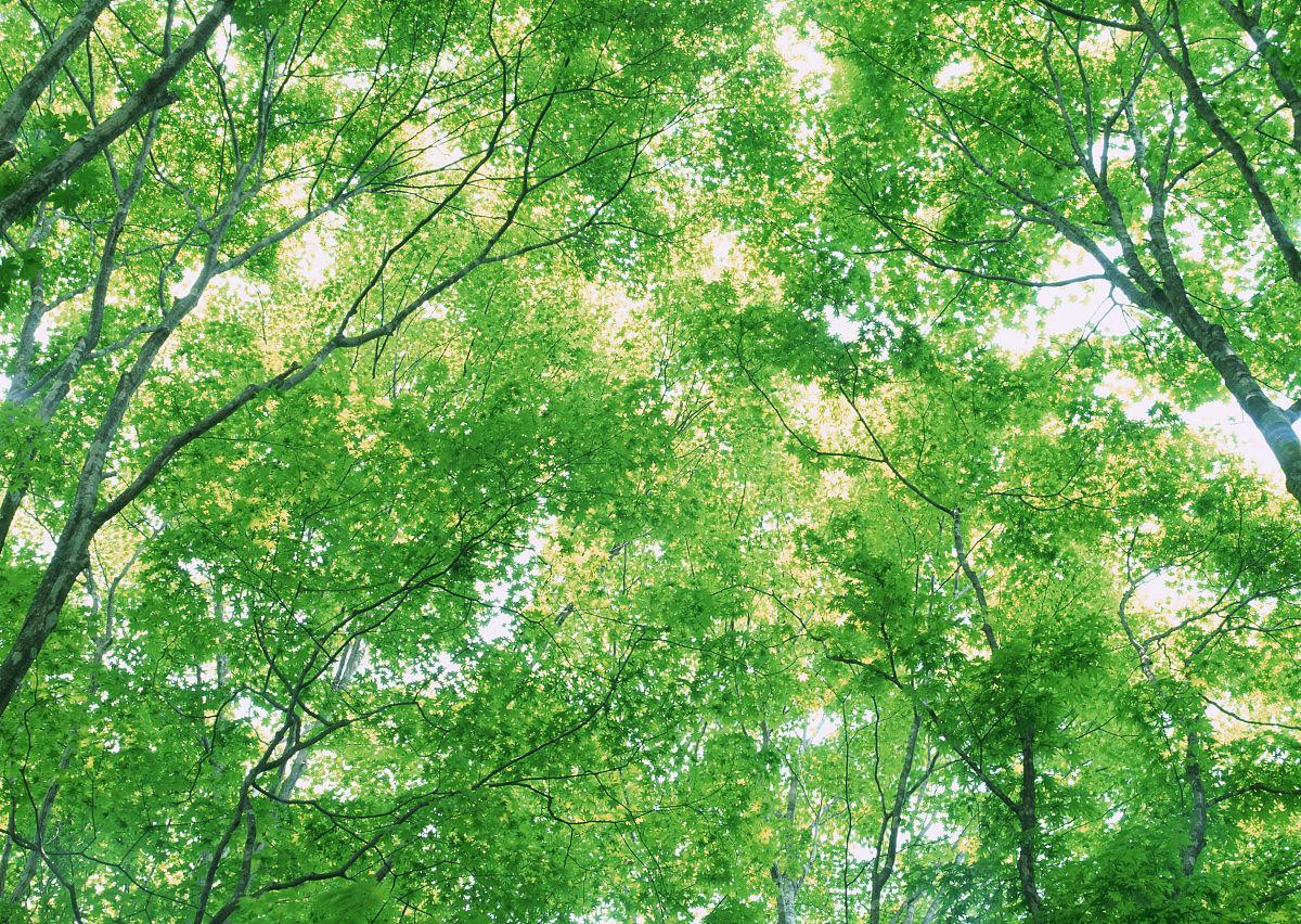 户外,日本,尝,绿色,树,枝繁叶茂,叶子,光,夏天,白昼,森林,日光,背景图片