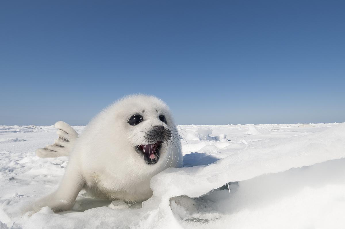 白色竖琴小海豹图片