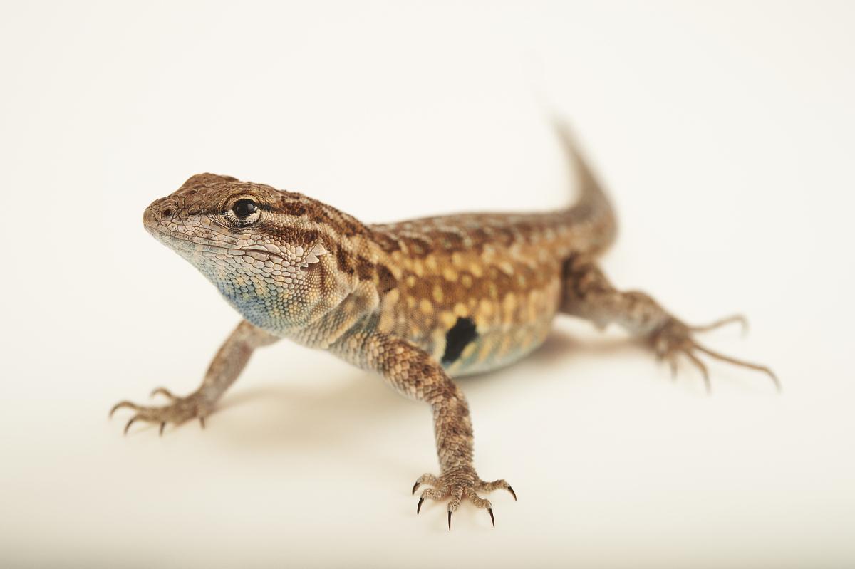 狠狠的抽愹�nZI�j�_侧斑点蜥蜴,utastansburiana stejnegeri,在春泉保护区.
