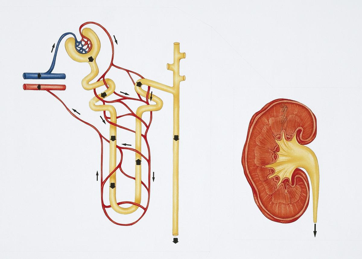 图示肾单位结构和肾脏图片