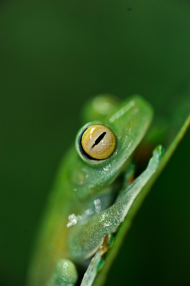 hy777兽幼片_运河区的树蛙(hypsiboas rufitelus)在一片叶子上栖息.