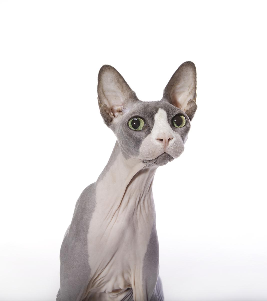 斯芬克斯猫很惊讶的表情图片