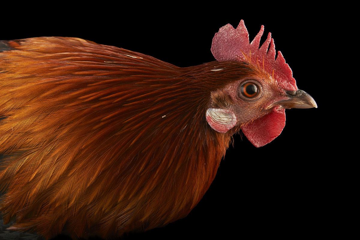 男性的红原鸡,原鸡gallus,在比尔森动物园.图片