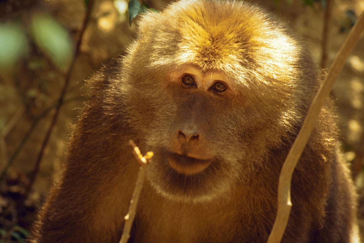 中国猴子种类_在中国的短尾巴的猴子