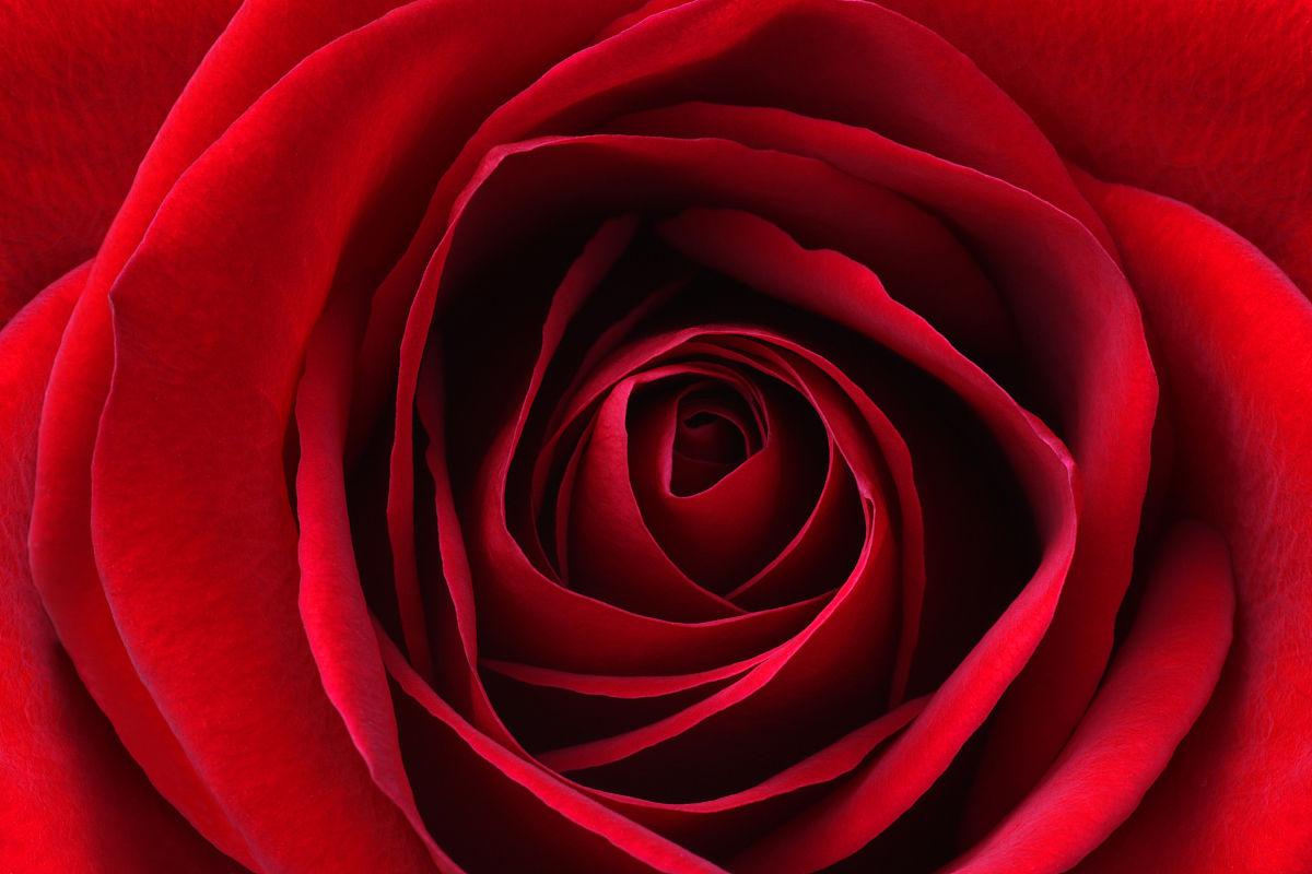 深宫风云之玫瑰_从上面关闭了深红色的玫瑰