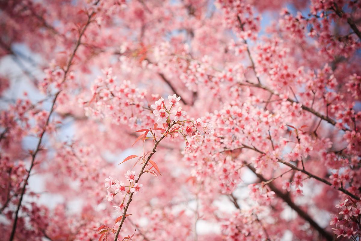 gmai_泰国粉红樱花盛开的chaingmai