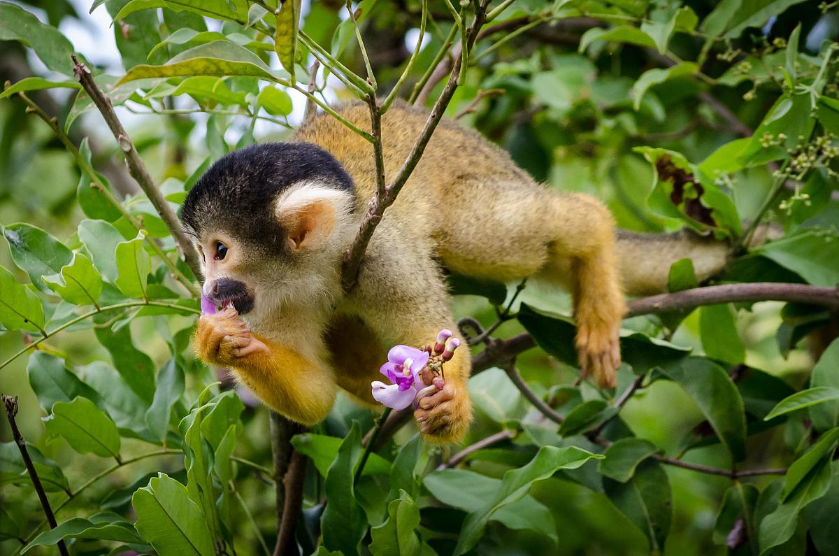花猴子_美味的花,猴子,amazon