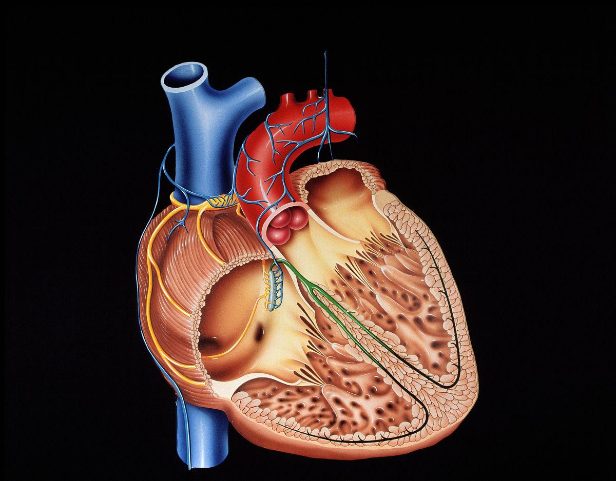 心脏结构图片