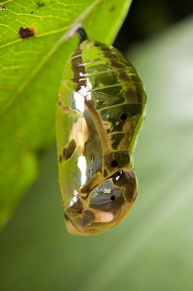 蝴蝶蛹.图片