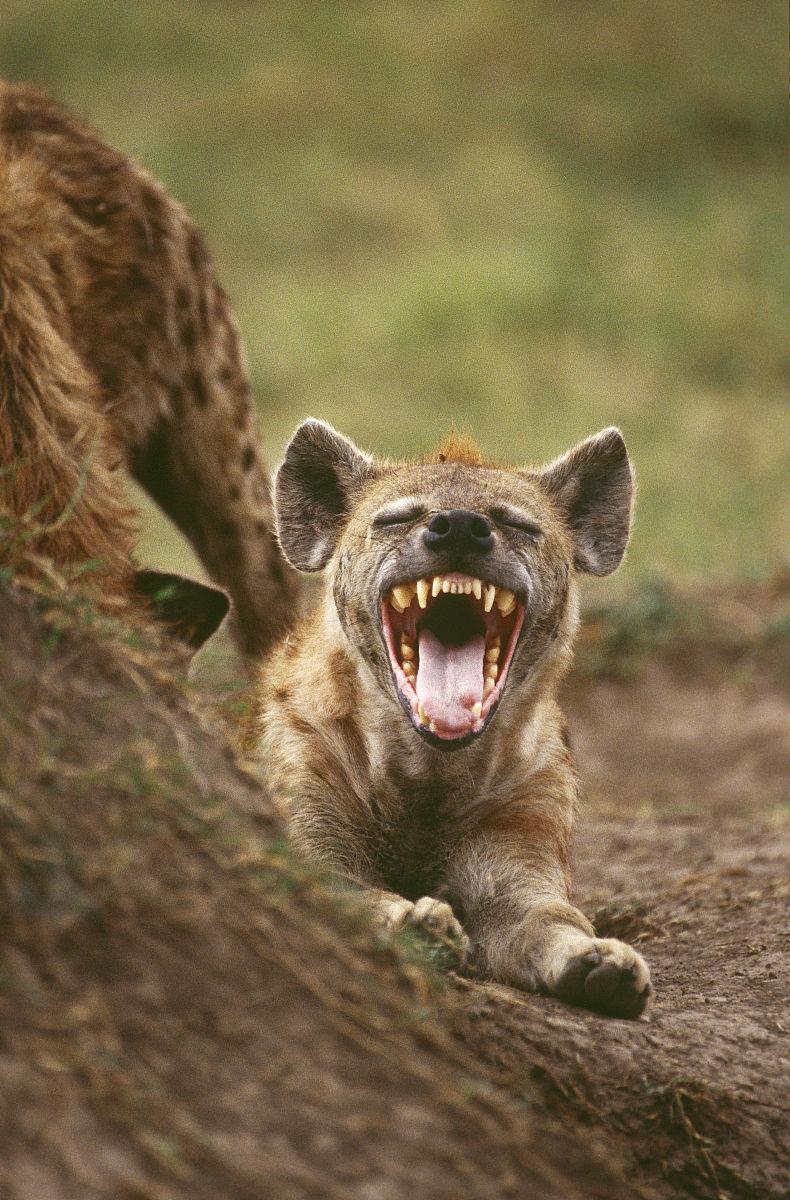 年轻人发现了鬣狗(crocuta crocuta)露出牙齿.masai mara,肯尼亚.