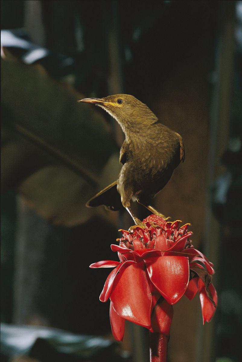 厨余�zamy�m_一个巨大的森林蜜雀,gymnomyza viridis,在介绍姜.