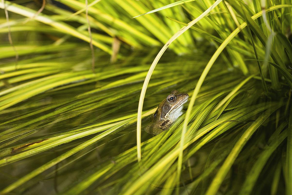 coomon(ranatemporaria)在芦苇蛙.四月