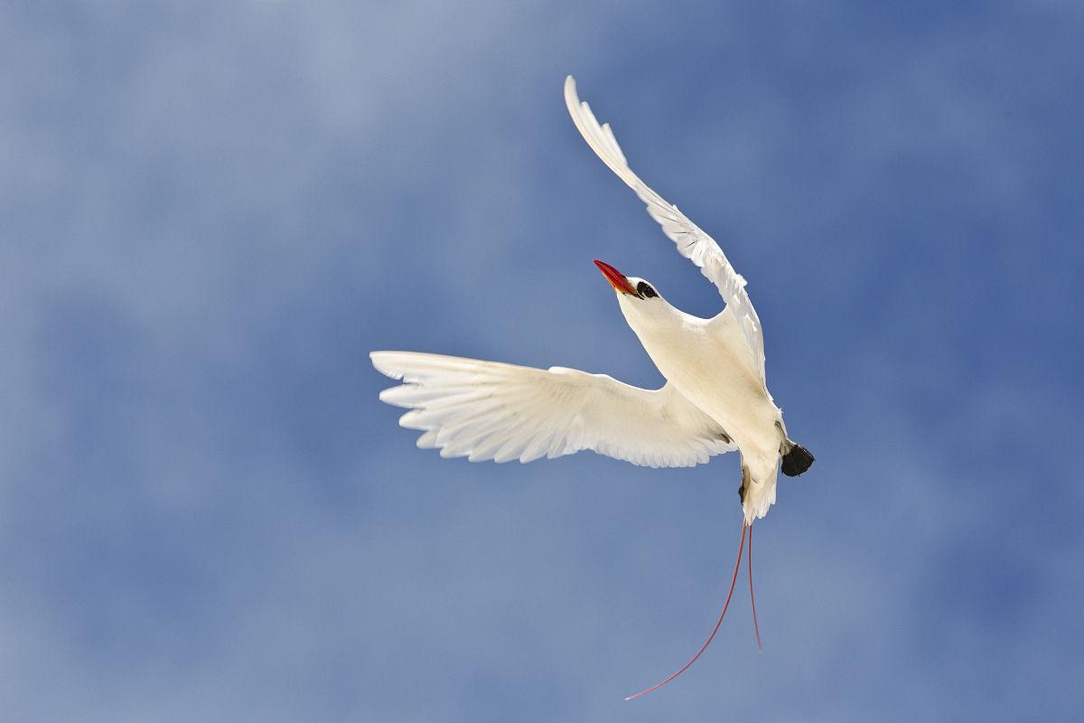 现代小�9a��am�il�..�i-9`�_红尾热带鸟,phaethon rubricauda rothschildi,在求偶飞行,砂岛