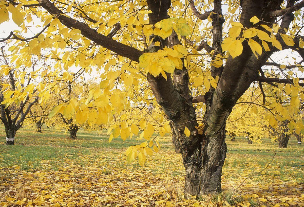 美国,俄勒冈,哥伦比亚河峡谷国家风景名胜区,rowena,秋天的果园图片