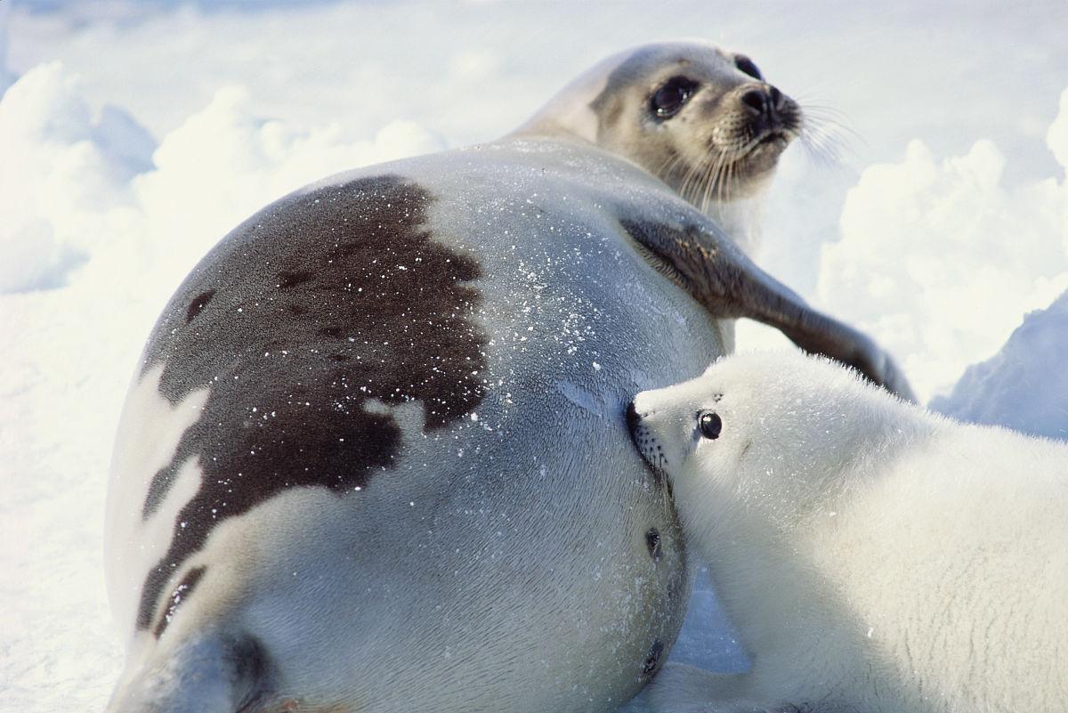 竖琴海豹崽从母亲哺乳图片