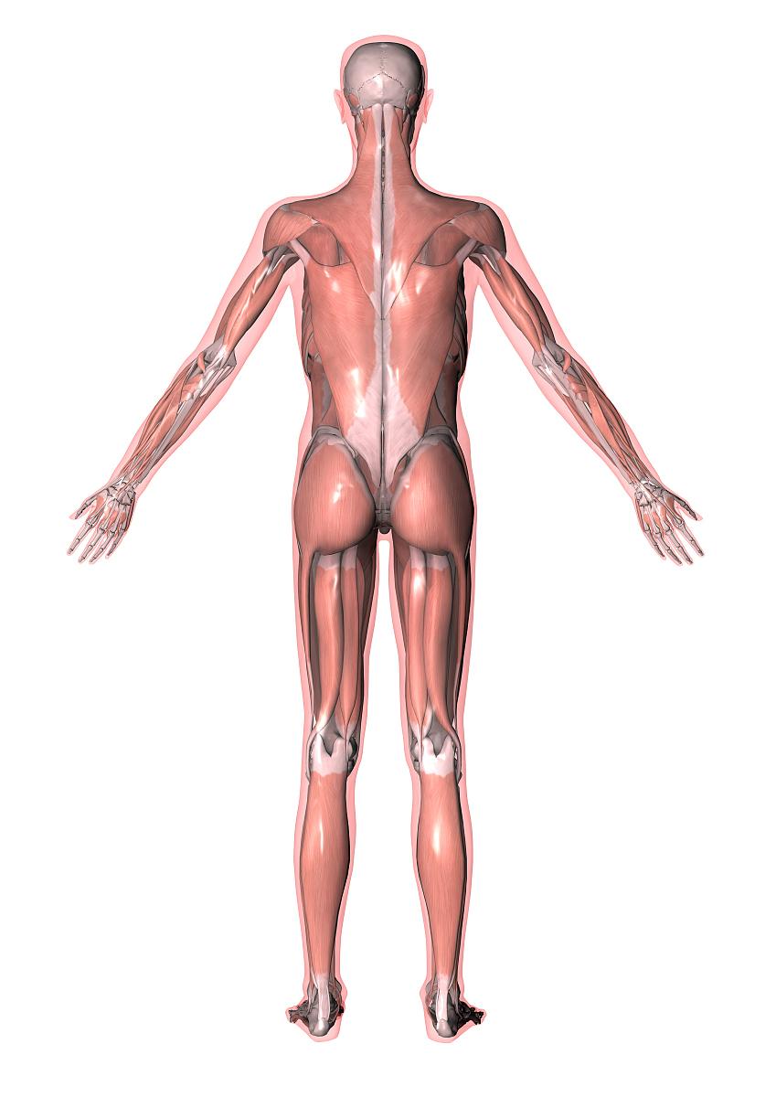 肌肉_人体所有肌肉