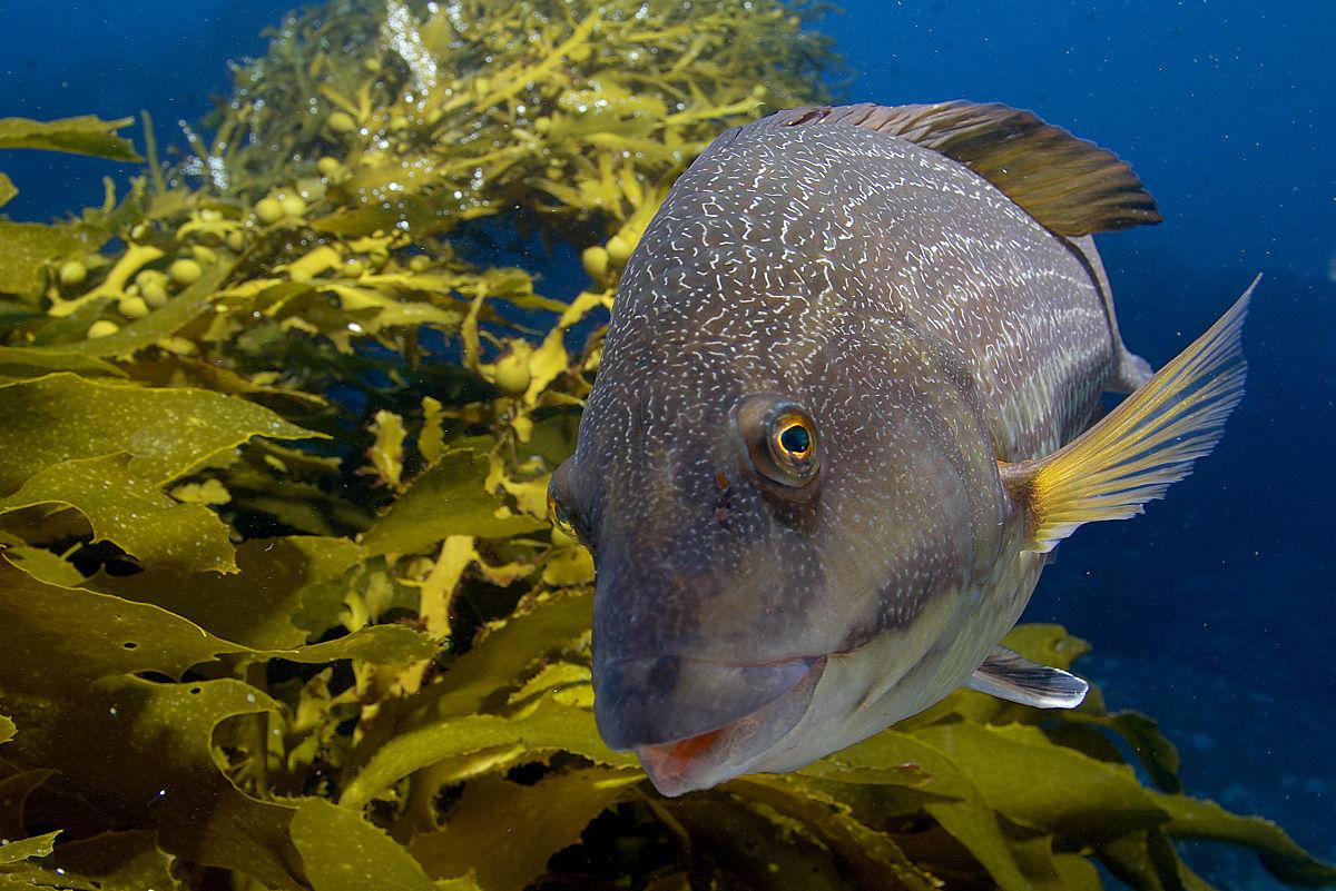 wrasse,notolabrus inscriptus,海带,穷骑士的海洋保护区,新西兰图片