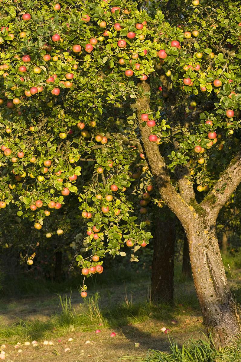 苹果树(malus domestica)与成熟的苹果在草地果园,秋天,巴伐利亚,德国图片