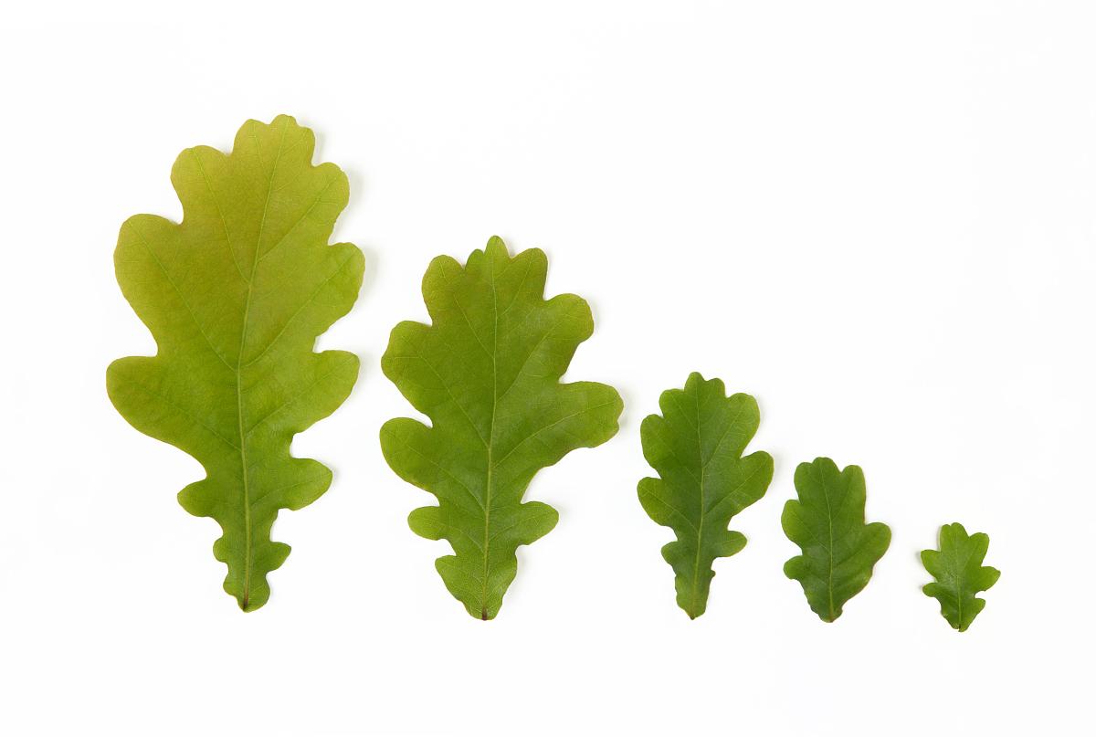 五�y.b�ab[ؙ:d�:!&�k��.b_五橡树叶的大小顺序,对白色背景,特写