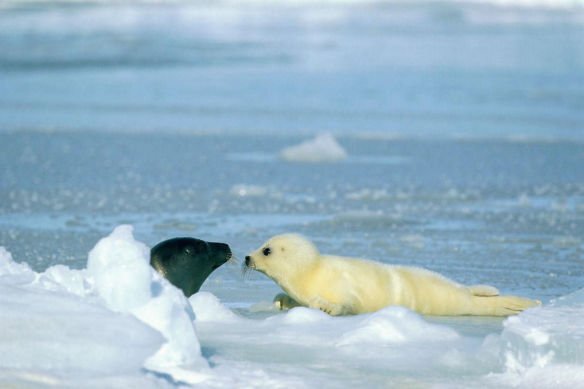 一个新生的竖琴小海豹有一个成人图片