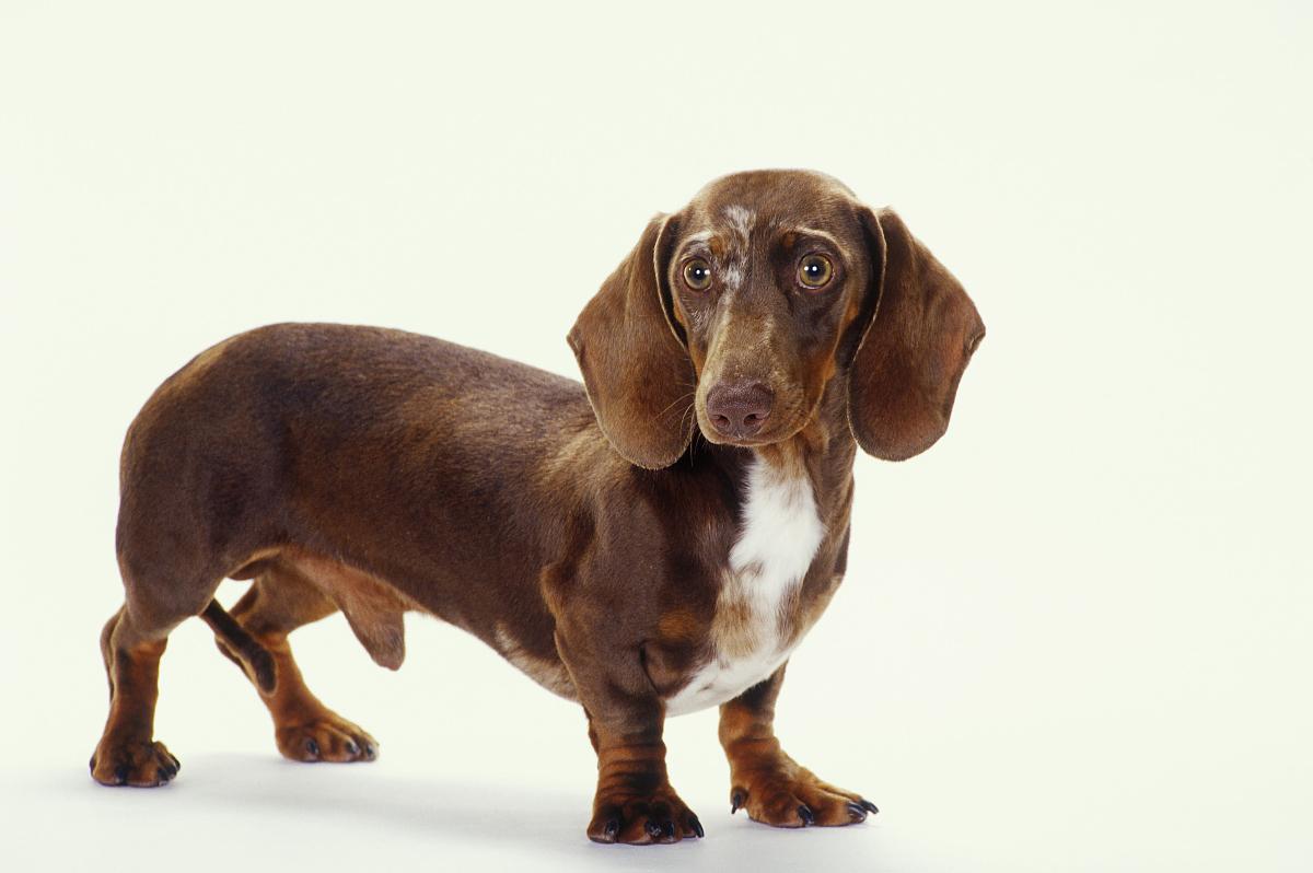 Pictures Of Black Wiener Dogs