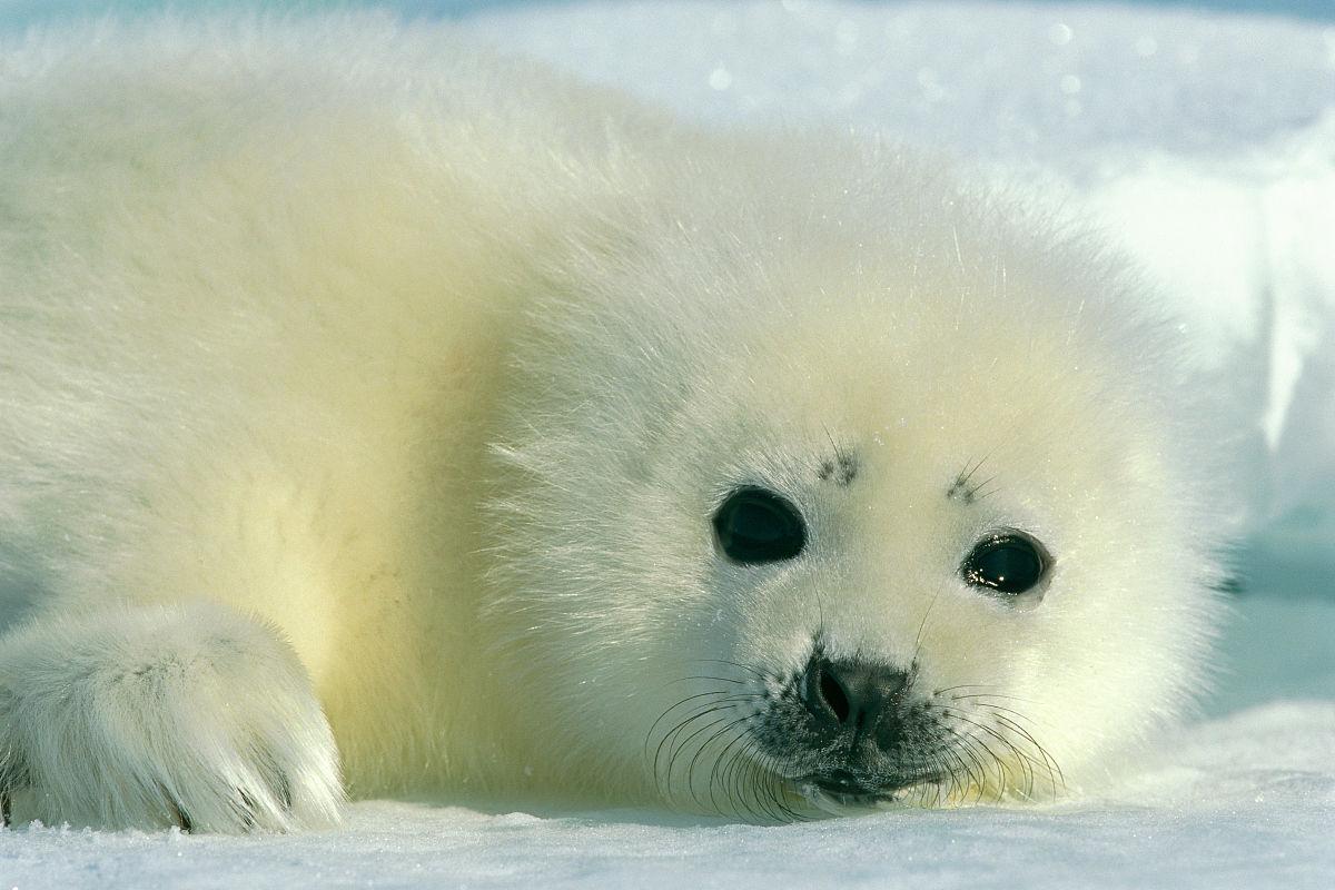 一只刚出生的竖琴海豹小狗直接盯着摄像机图片